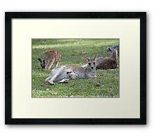 Eastern Grey Kangaroos, NSW, Australia Framed Print
