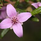 Single Boronia Flower by Andrew Trevor-Jones