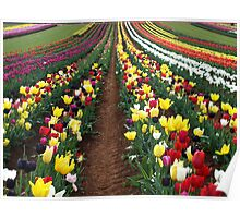 Tulips in the Dandenong Ranges,  Australia Poster