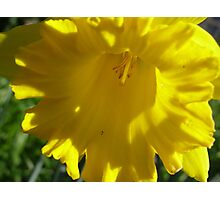 Daffodil Day against Cancer. Photographic Print