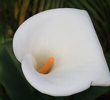 Callalily by Kellie Metcalf