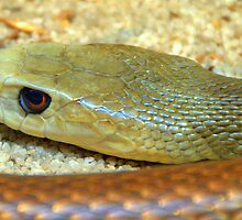 Taipan  by Tom Newman