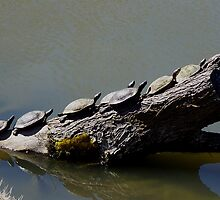 Turtles in a Row by Marea Breedlove
