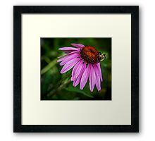 Bumblebee on cone flower Framed Print