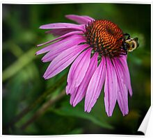 Bumblebee on cone flower Poster