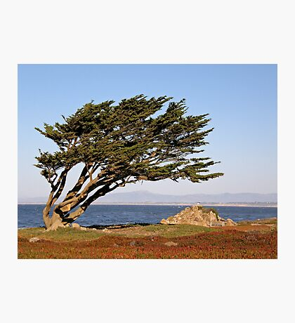 Coastal Cypress Photographic Print