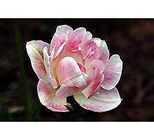 ANN'S SOFT PINK TULIP Photographic Print