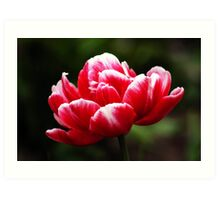 ANN'S RED TULIP Art Print