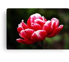 ANN'S RED TULIP Canvas Print
