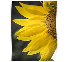 Beautiful Sunflower Closeup Poster