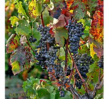 From the Vineyard - Cheers ! Photographic Print