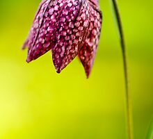 Snakeshead Fritillary by Andy Freer