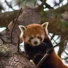 Red panda by Mariann Rea