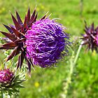 A Musk Thistle by Darron Palmer