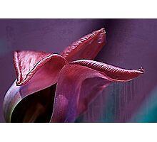Silky fading tulip.... Photographic Print