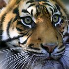 Sumatran Tiger by Sue Leonard