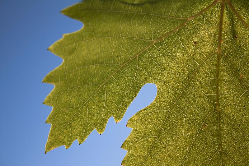 Wine Leaf Canada by Semmi