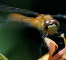 Staring Dragonfly by Lita Medinger