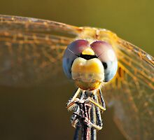 Macrophoto of a Dragonfly - France (Corsica) by Marieseyes