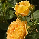 Yellow Roses by Sue Leonard