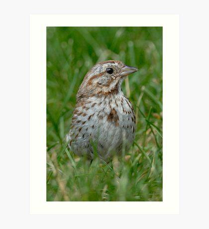 Song Sparrow Art Print