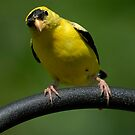 American Goldfinch by okcandids