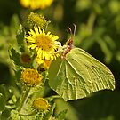 Brimstone On Common Fleabane by Robert Abraham