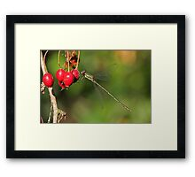 Willow Emerald On Hawthorn Berries Framed Print