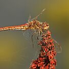 Redish Female by Robert Abraham