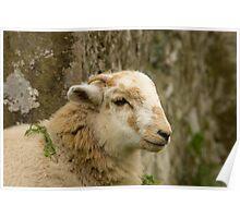 Welsh lamb Poster