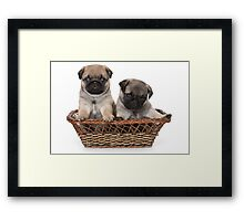 two cute pug puppy Framed Print