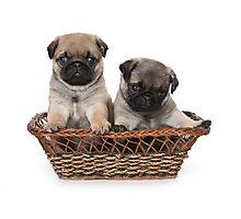 two cute pug puppy Photographic Print