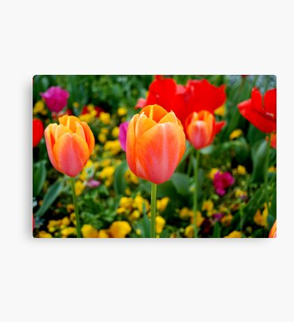 Tulips in Florence Canvas Print