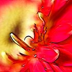 Gerbera in red.... by Patriciakb
