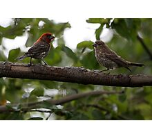 Purple Finch Pair on a Branch Photographic Print