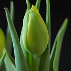 Tulip Blossom by Colleen Drew