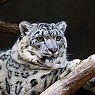 Snow Leopard by kittyrodehorst