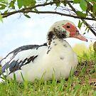 Resting Muscovy Duck by ©Dawne M. Dunton