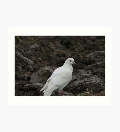 Homing Pigeon Art Print
