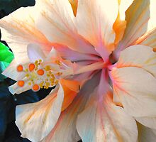 Double Hibiscus by sternbergimages