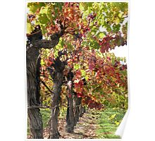 Vineyards of Calistoga  Poster
