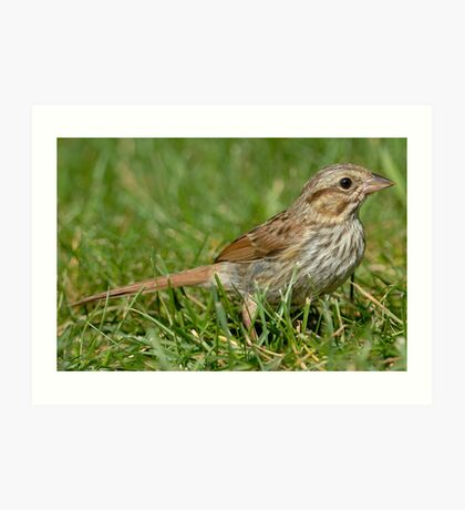 Song Sparrow (side view) Art Print