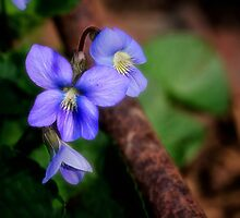 Spring Violets by Kathy Weaver