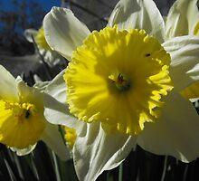 Daffodil Day by Carol Field