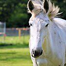 White Horse by ©Dawne M. Dunton