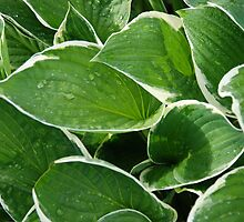 Hostas by Angela1