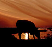 Bovine Delight by AroonKalandy