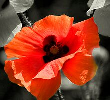 Poppy by Andy Smith