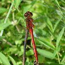 Red Dragon by cebrfa
