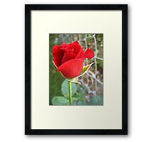 My First Red Rose Framed Print